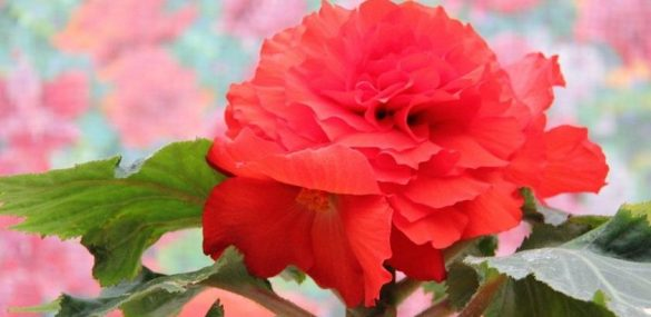 В Пхеньяне в 21-й раз пройдет  фестиваль цветов кимченирхва