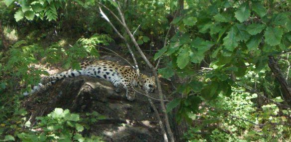 Для приморских леопардов подготовят гидов