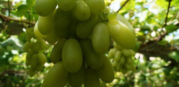 Винодельческое хозяйство во благо туризма появится в Партизанском районе Приморья