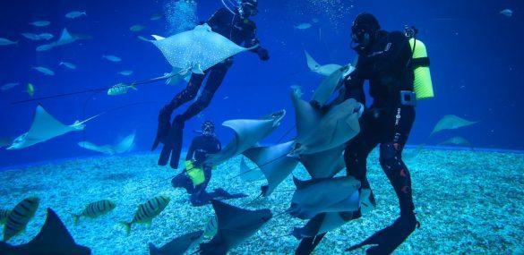 «Танцы со скатами» можно увидеть в океанариуме Приморья