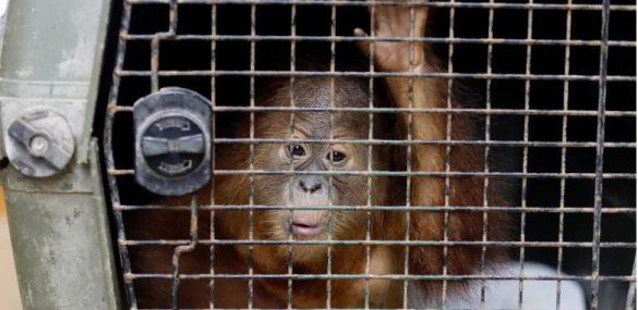 Орангутанга «под кайфом» пытался вывезти с Бали в багаже турист из Приморья